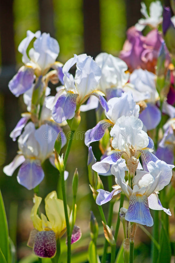 Irises. Close-up on background of green leaves stock images