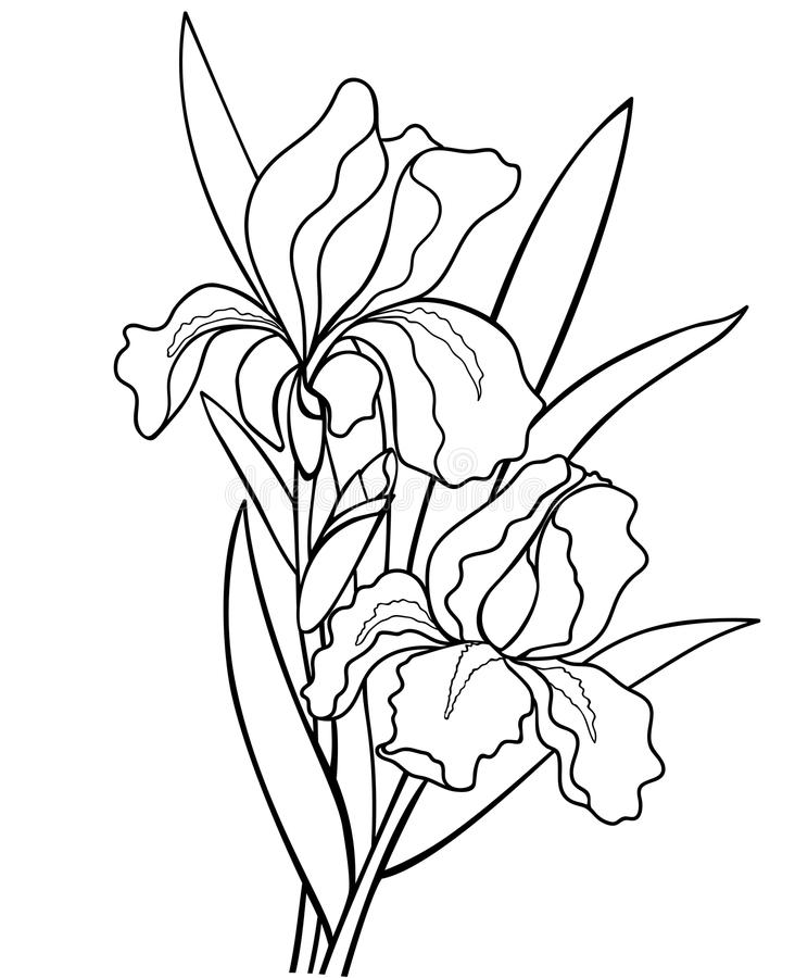 Irises flowers with leaves. Botanical illustration. Line drawing. For coloring. Bouquet of flowers stock illustration