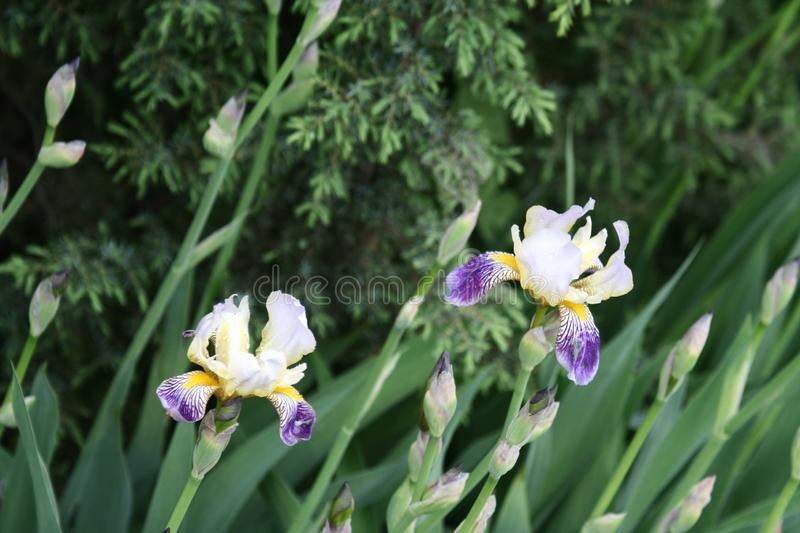 Irises in the garden. Irises flowers in spring green garden in a flowerbed royalty free stock images