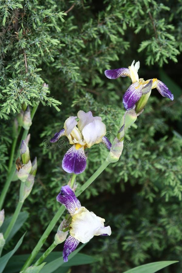Irises in the garden. Irises flowers in spring green garden in a flowerbed, vertical shot royalty free stock photos