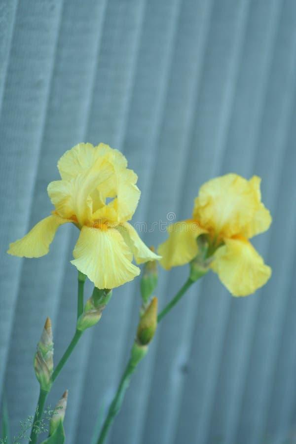 Irises in the garden. Irises flowers in spring green garden on flowerbed, vertical shot royalty free stock images