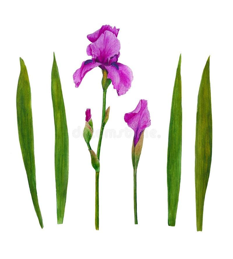 Irises flowers watercolor painting botanical illustration leaves spring summer set for design greeting card invitation royalty free illustration