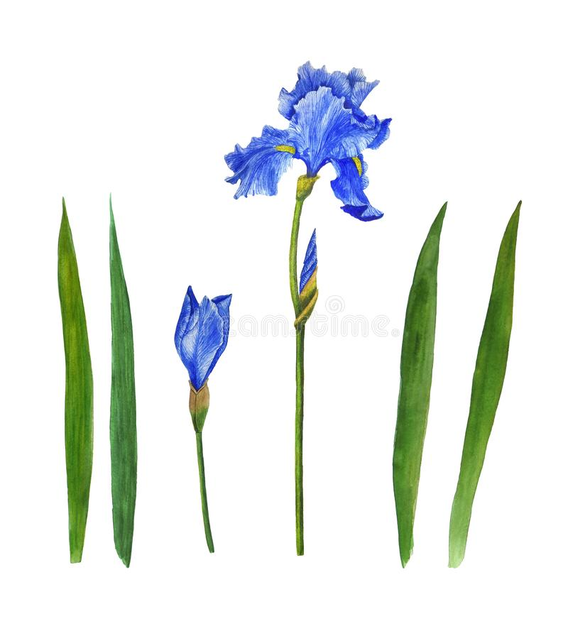 Irises flowers watercolor painting botanical illustration leaves spring summer set for design greeting card invitation royalty free stock photo
