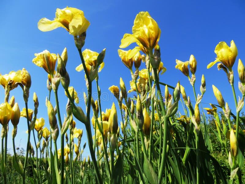 Irises flowers yellow field meadow landscape decoration design. S cut bouquet beauty spring summer still life stock photos