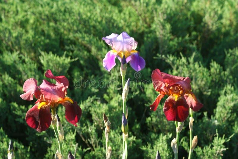 Irises in the garden. Irises flowers in spring green garden on flowerbed stock photos
