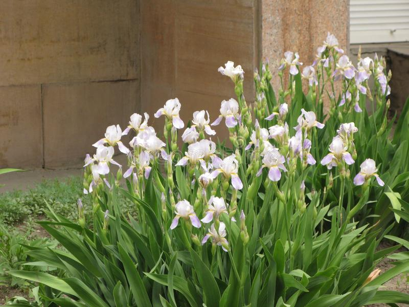Irises in the garden. Irises flowers in spring green garden on flowerbed royalty free stock images