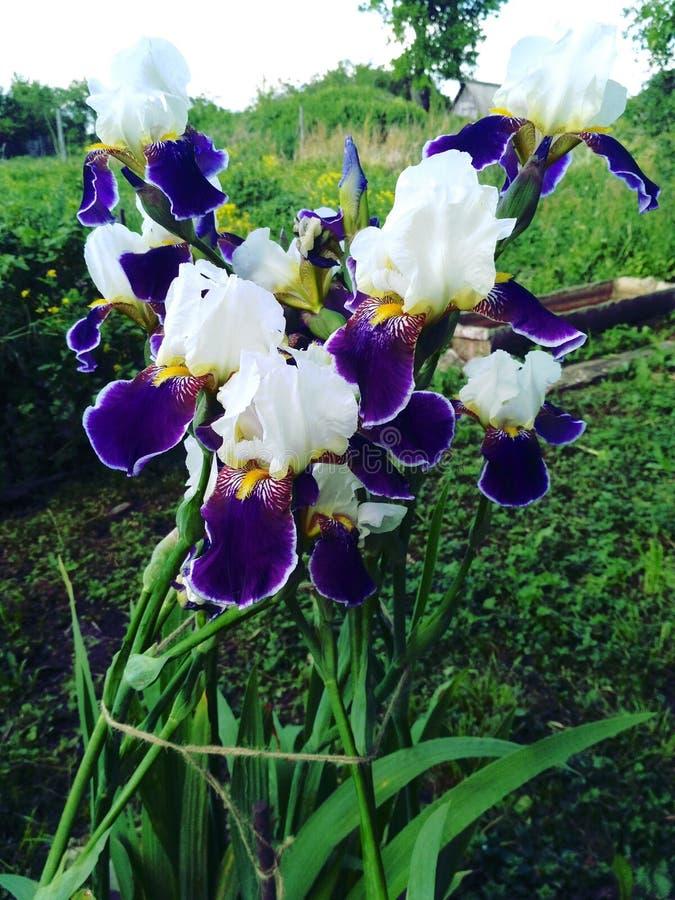 Irises. In a green garden stock photo