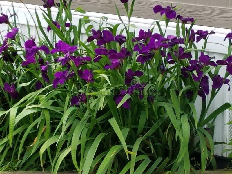Irises. Garden, purple, colors, colorful royalty free stock photos