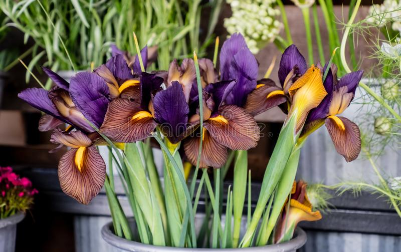 Irises for sale - bouquet. A colorful set of Irises in a  small metal container create an attractive bouquet at a farmer`s market sale stock images