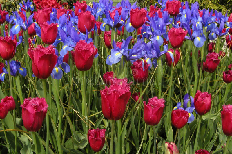 Irises and Tulips. A flower bed of deep red tulips and rich blue irises stock photography