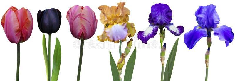 Irises tulips. Nature flora isolated royalty free stock photography