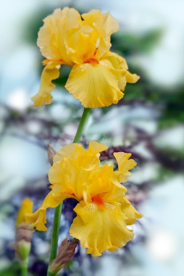 Irises yellow- bright summer flowers stock image