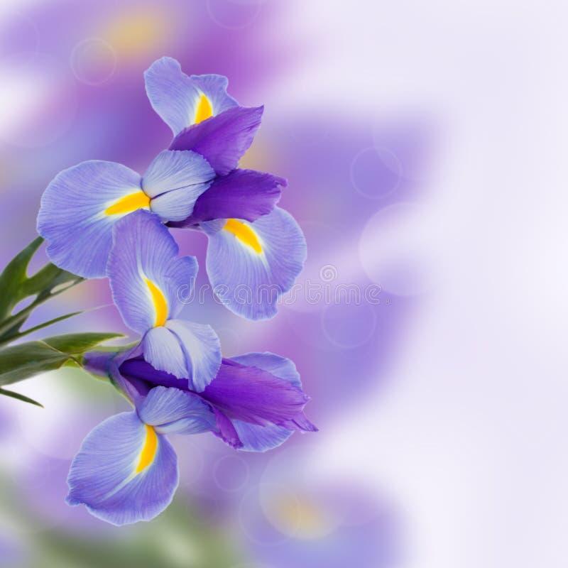 Irisesblommor arkivfoton