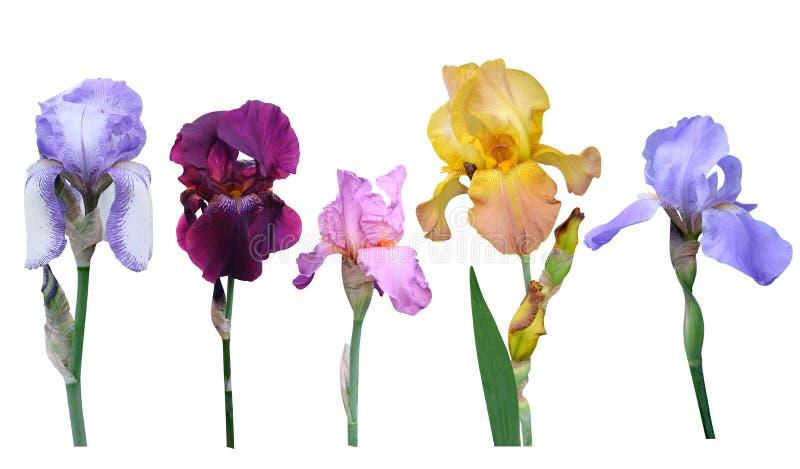 Irisesblommor royaltyfri foto