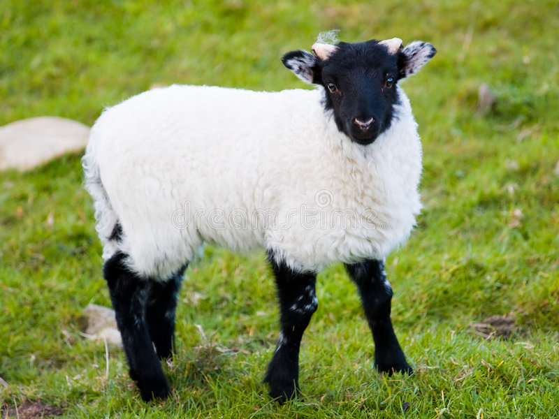 Download Irish baby sheep stock photo. Image of field, cuddly, green - 5526480
