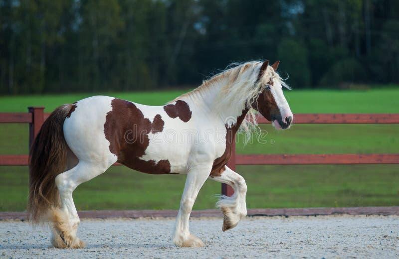 Irish cob stallion. Shows off in paddock stock photography