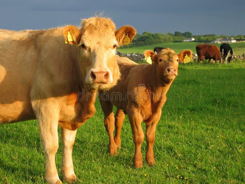 Irish cows royalty free stock photography