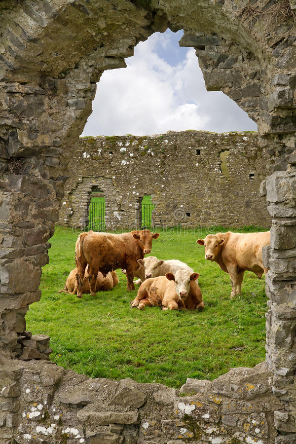 Irish cows in abbey ruins. Irish cows in the frame of abbey ruins stock images