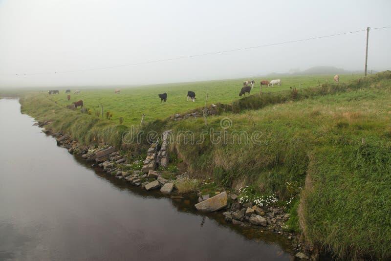 Irish cows in the fog royalty free stock photos