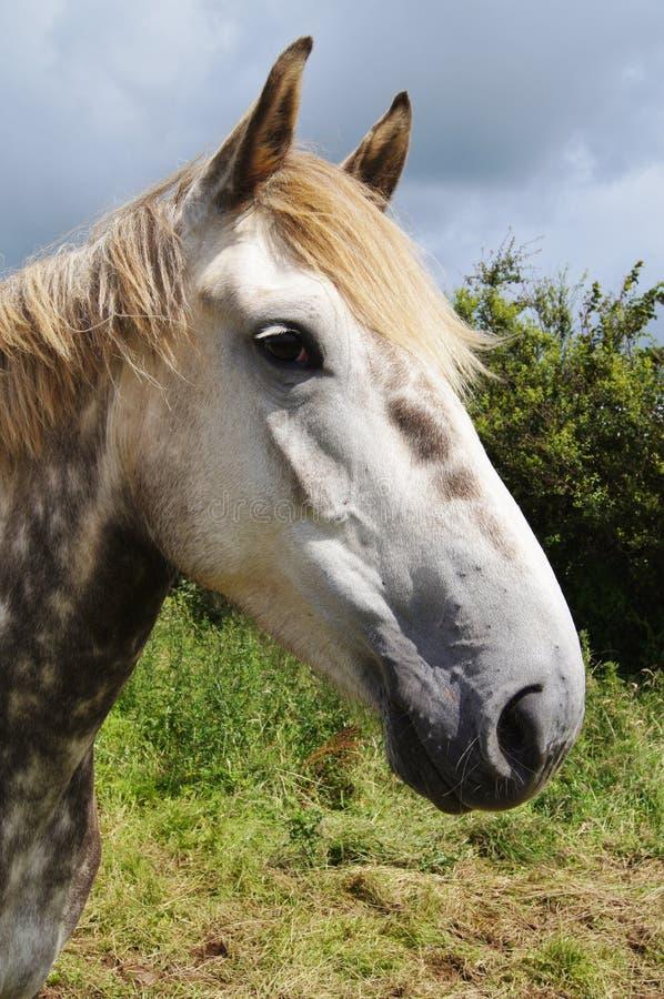 Irish Draught Horse royalty free stock photography