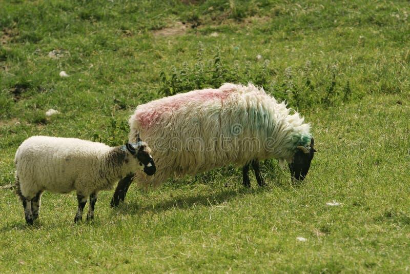 Download Irish Ewe and Lamb stock photo. Image of marked, ireland - 15450266