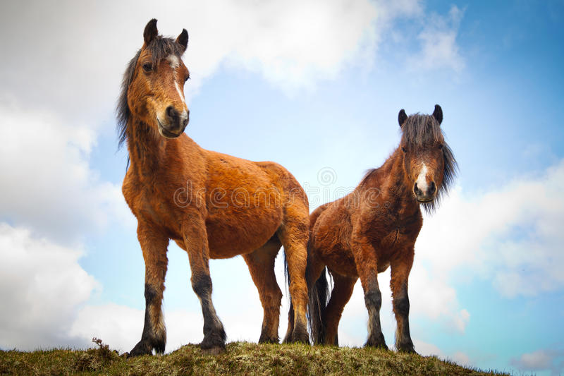 Irish horses on the hill stock image