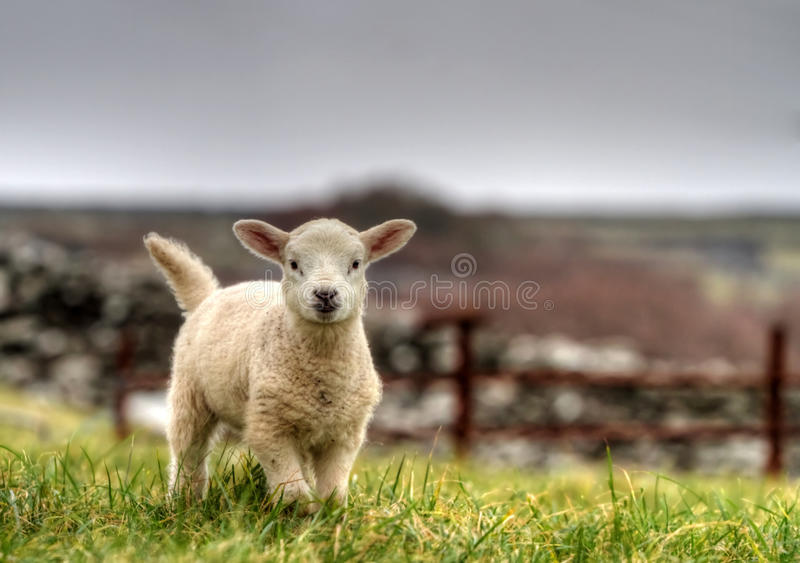 Download Irish lamb stock image. Image of grass, environment, mountain - 18067303
