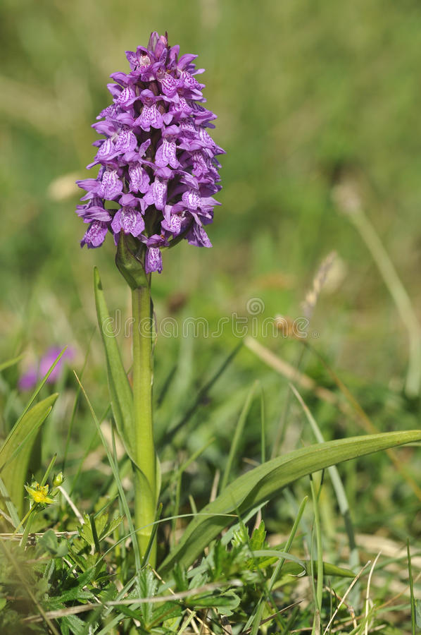 Download Irish Marsh Orchid stock photo. Image of summer, poulsallagh - 25640004