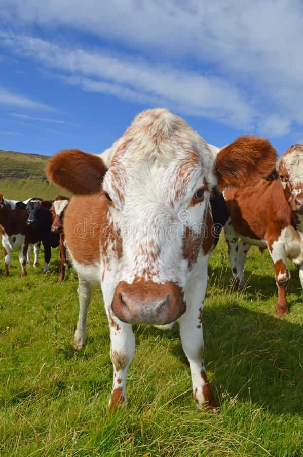 Irish Moiled Cattle in a field on farm in Co Antrim Northern Ireland. Irish Moiled Cattle in a field on a farm in Co Antrim Northern Ireland royalty free stock images
