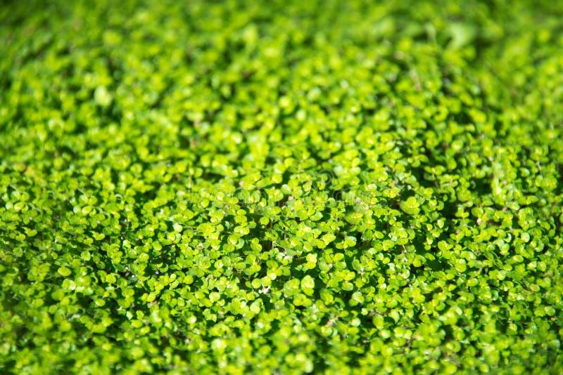 Irish moss Soleirolia stock photos