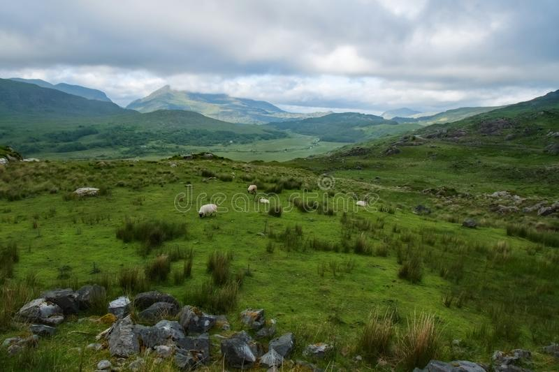 Irish Pasture with Sheep stock image