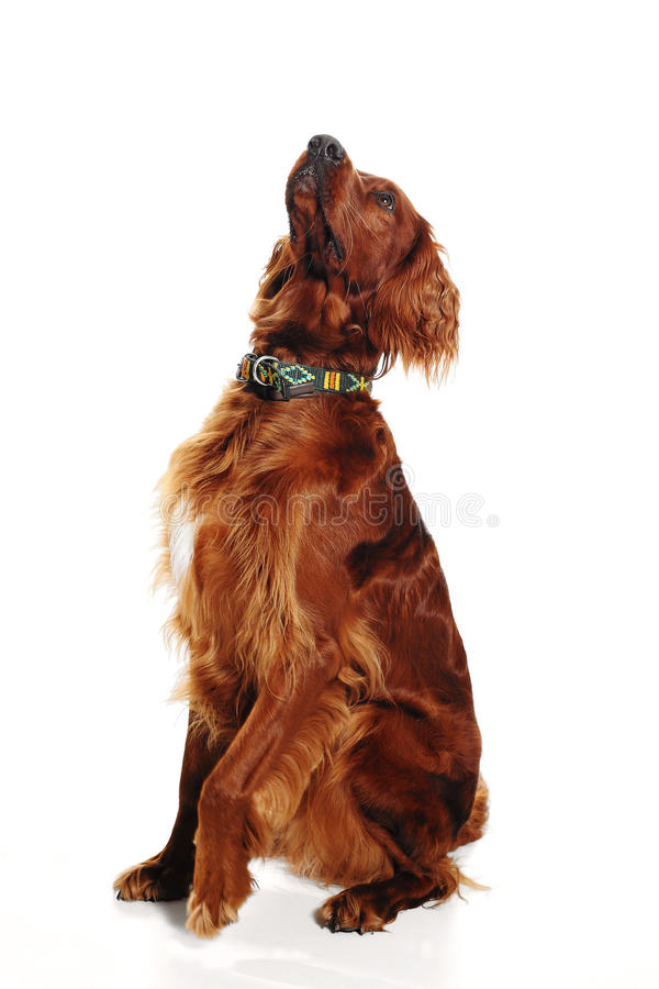 Download Irish  red seter dog stock image. Image of breed, curious - 27691161