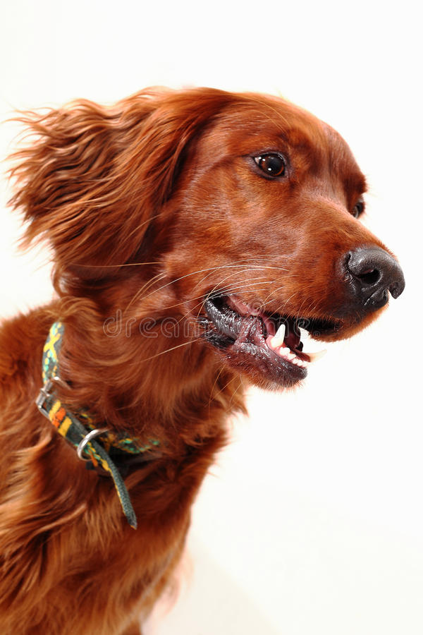 Download Irish Red Setter stock photo. Image of look, friendly - 27691238