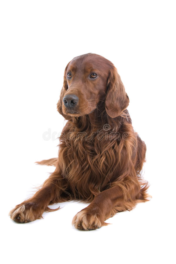 Download Irish Red Setter dog stock image. Image of haired, pose - 9672805
