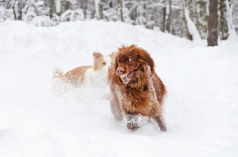 The Irish red setter. Dogs play with each other. royalty free stock image