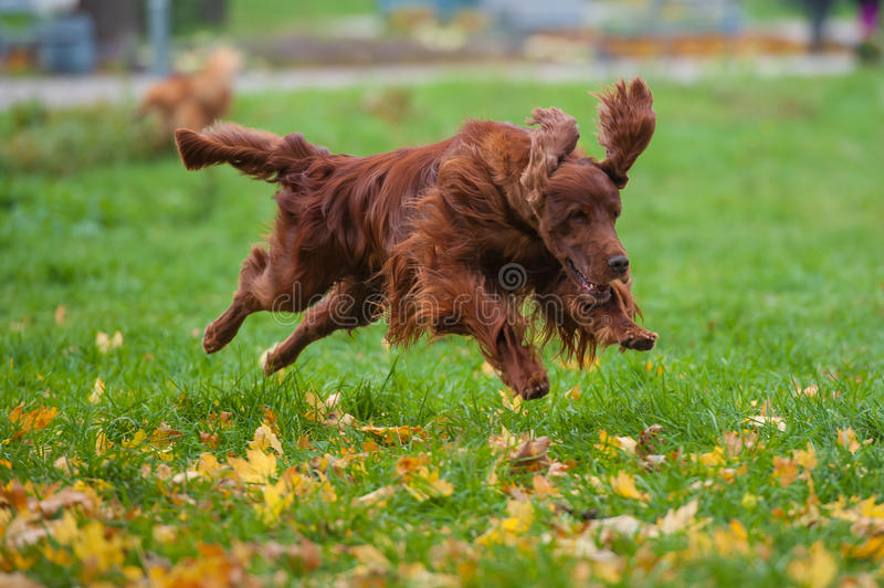 Irish red setter royalty free stock photography