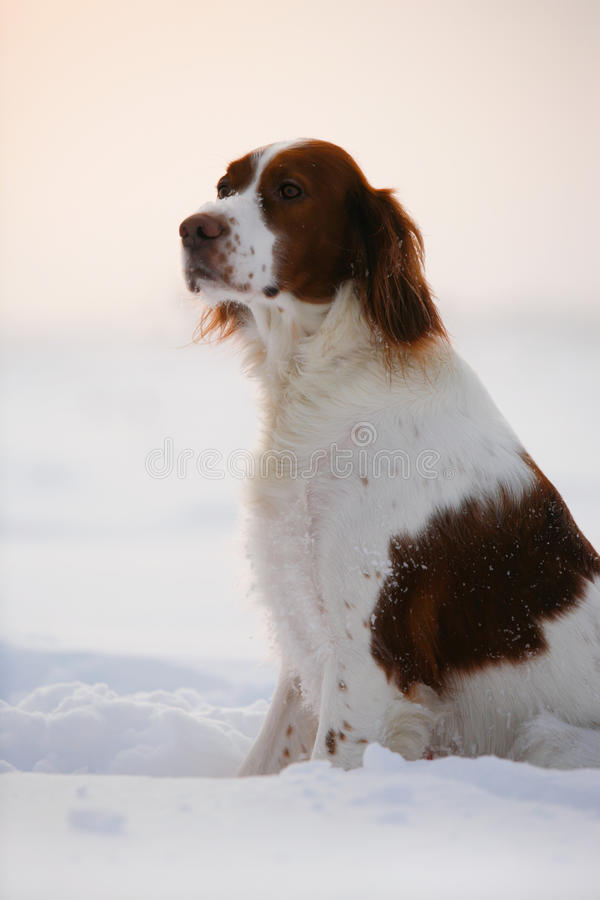 Irish red and white setter stock images