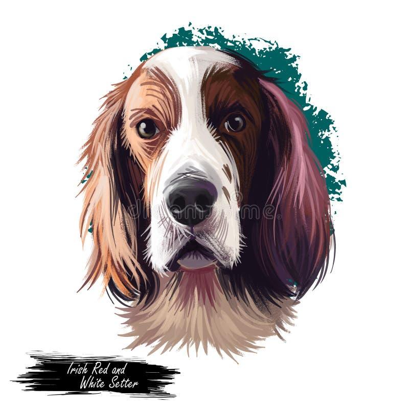 Irish Red and White Setter dog digital art illustration isolated on white background. Ireland origin sporting gundog hunting dog. royalty free illustration