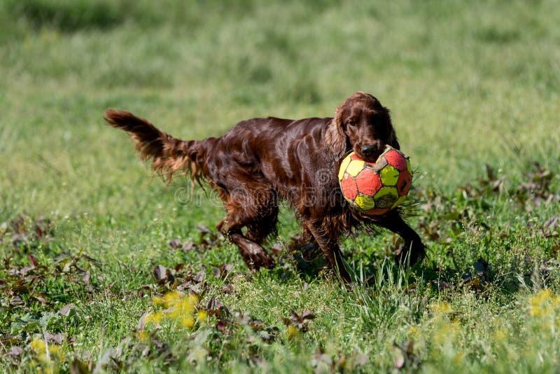 Irish Setter que juega con la bola, foco selectivo en el perro foto de archivo libre de regalías