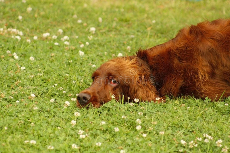 Irish Setter resting royalty free stock photography