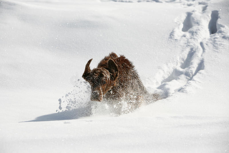 Irish setter in snow royalty free stock images