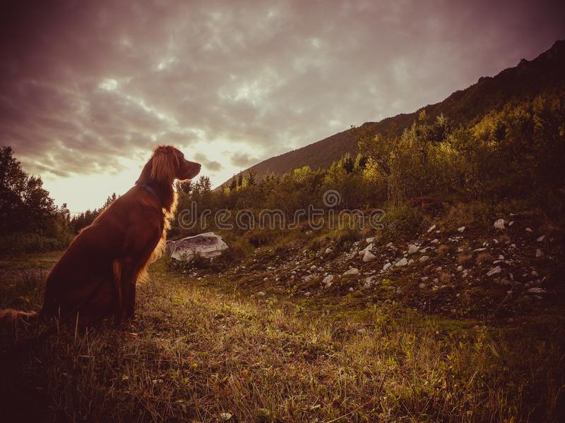 Irish setter sunset stock image