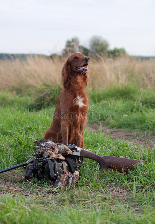 Download Irish setter with trophies stock photo. Image of doggy - 19946494