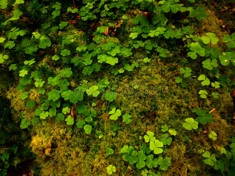 Irish Shamrocks. Close-up of lush green moss and clover from a forest in Ireland royalty free stock photo