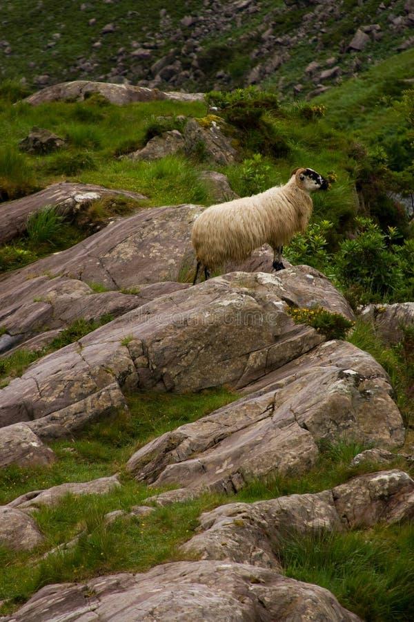 Irish Sheep stock image
