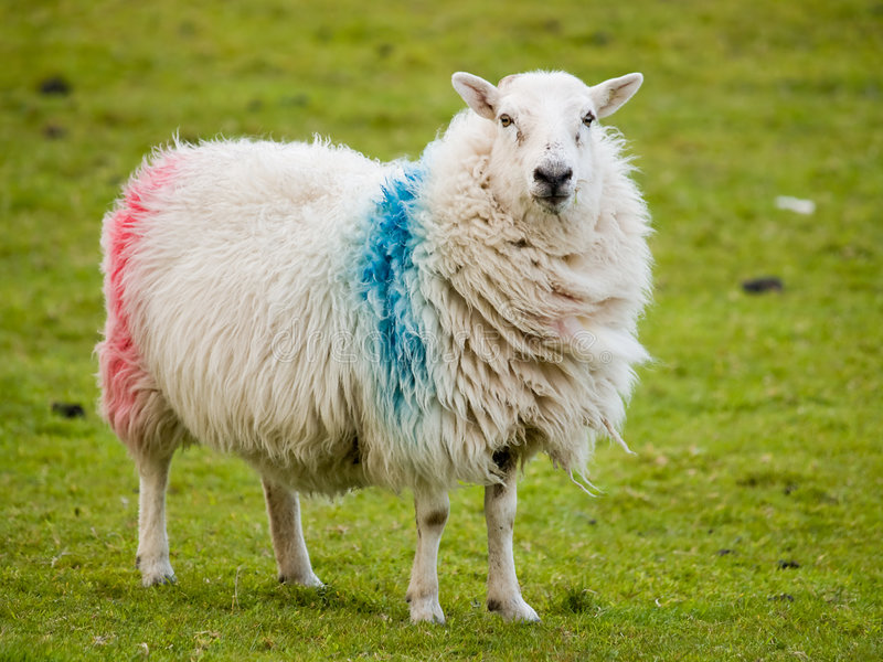 Irish sheep stock photos