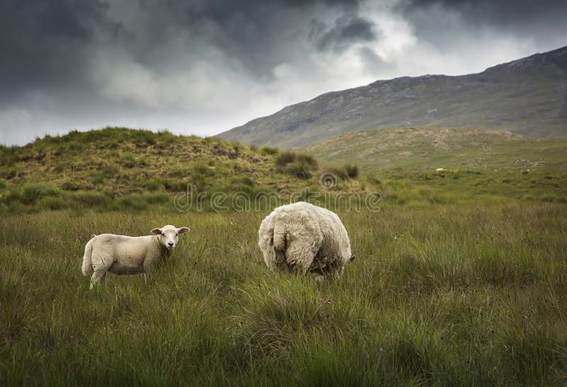 Irish Sheep royalty free stock images
