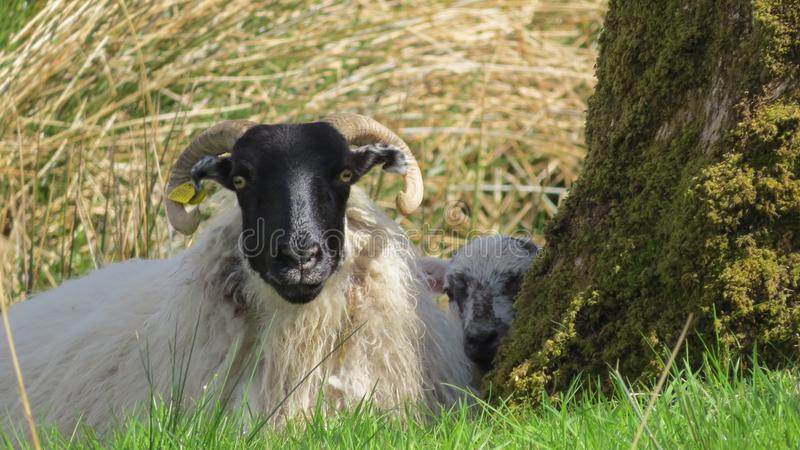 Irish Sheep royalty free stock photography