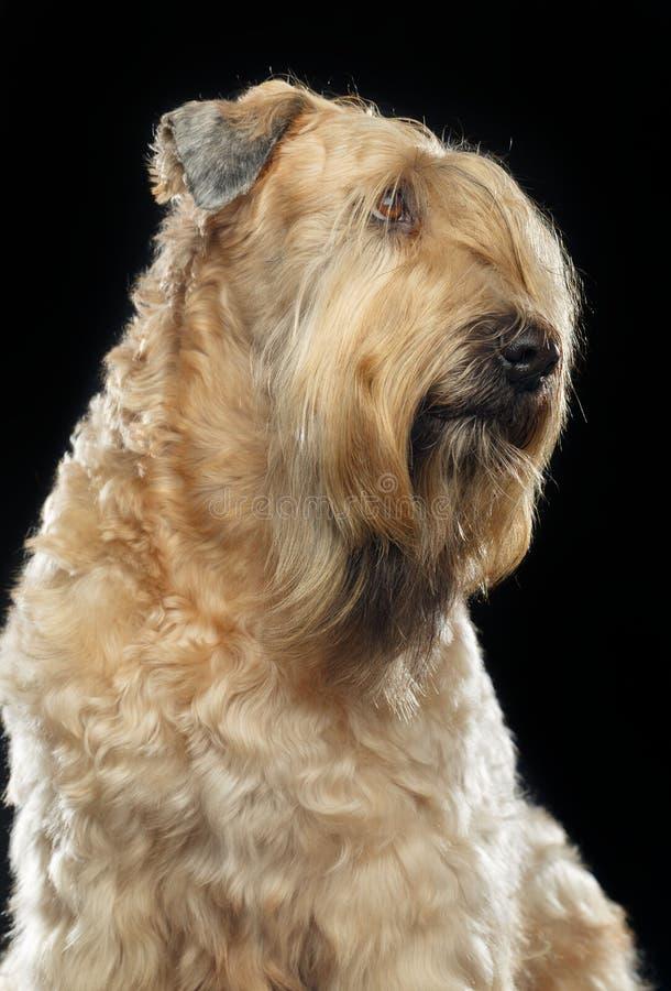 Irish soft coated wheaten terrier Dog on Isolated Black Background. In studio stock image
