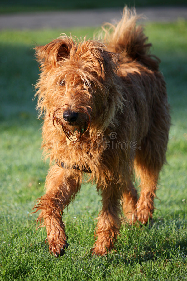 Irish Terrier stock photography